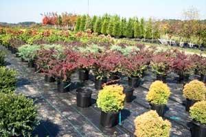 Декоративные кустарники и деревья оптом